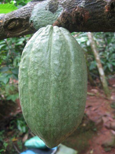 Idéal pour la peau, le beurre de cacao